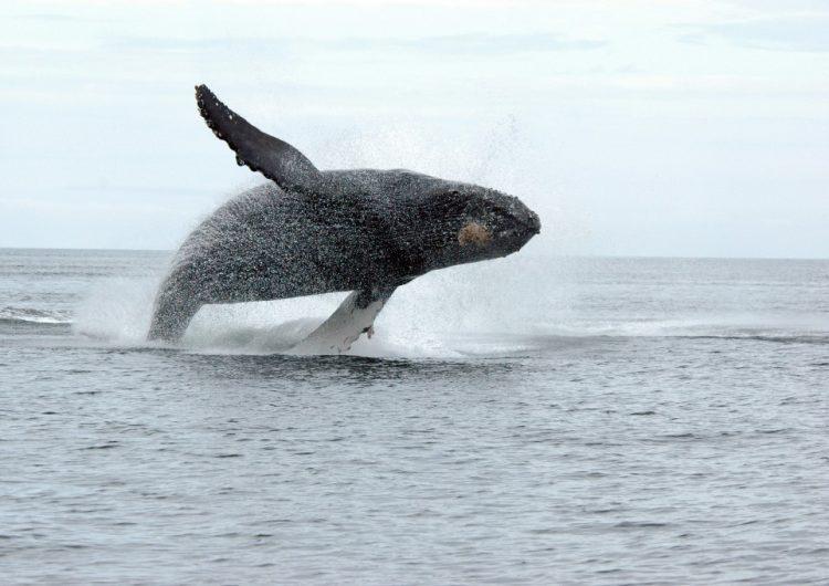 Canadá impone la primera multa a una persona por acercarse demasiado a una ballena