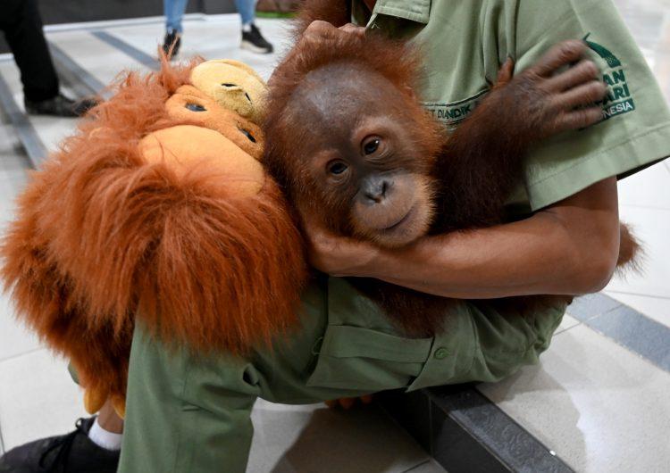 indonesia-rusia-orangután-tráfico de animales
