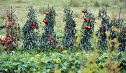 Las plantas emiten sonidos cuando están estresadas