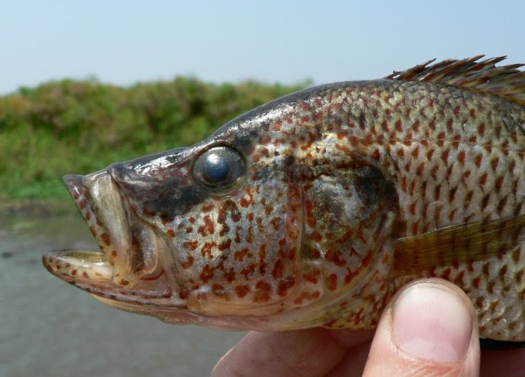 Estos peces generaron nuevos híbridos al aparearse otras especies