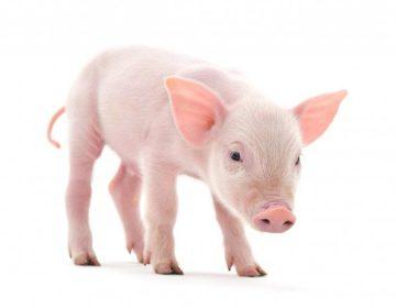 Organismos quimera: Científicos chinos crean híbrido de cerdo y mono