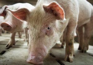 """""""La peor crueldad animal"""": Parque temático en China arroja a un cerdo vivo en bungee"""