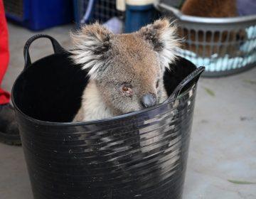 En fotos: Un improvisado hospital en Australia para salvar a koalas de los incendios