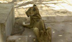 Las imágenes de los leones desnutridos en un zoológico de…