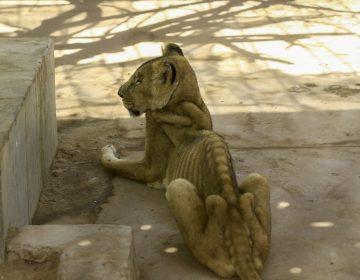 Las imágenes de los leones desnutridos en un zoológico de Sudán