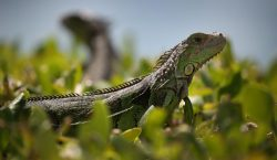 Servicio meteorológico de EU advierte sobre la caída de iguanas…