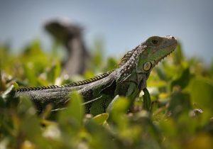 Servicio meteorológico de EU advierte sobre la caída de iguanas congeladas en Florida