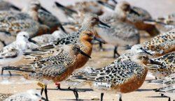 El guardián de las aves playeras, un termómetro de la…