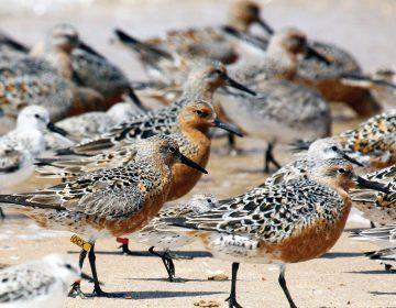 El guardián de las aves playeras, un termómetro de la crisis climática