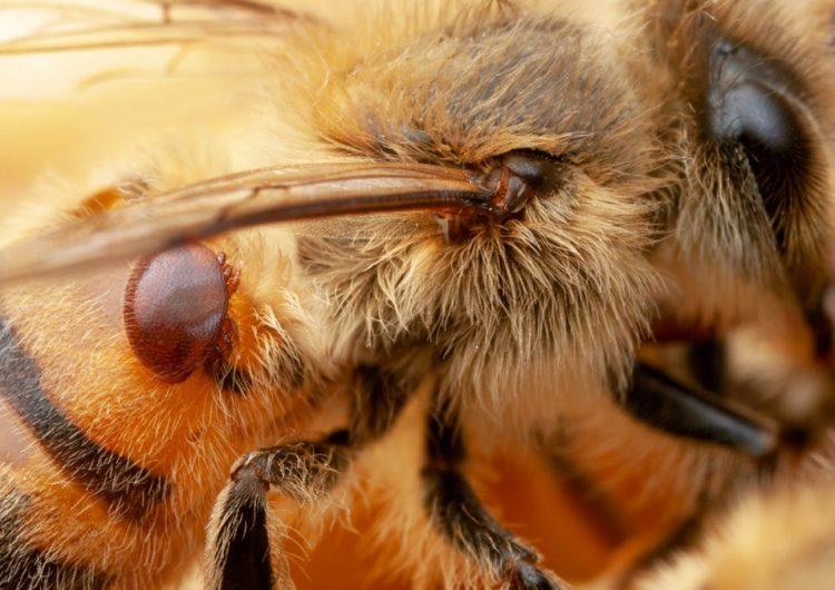 Desarrollan cepas de bacterias genéticamente modificadas para proteger a las abejas melíferas