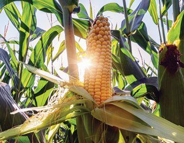 El maíz en Sinaloa baila samba y consume menos agua