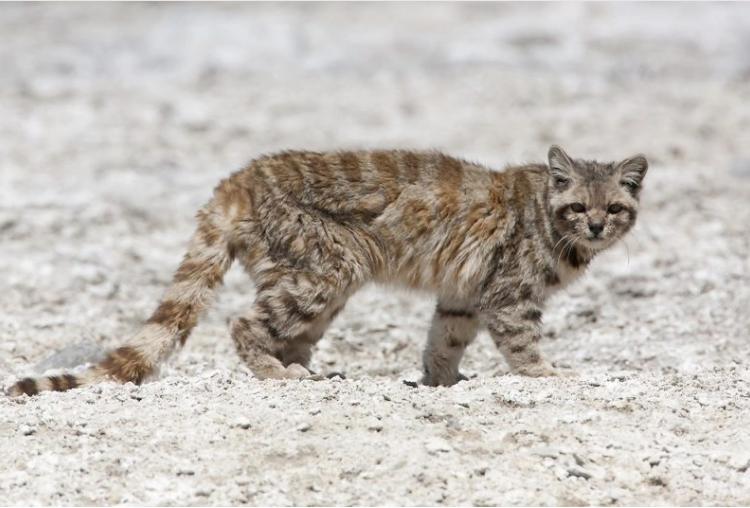Después de 12 años, registran la presencia de dos gatos andinos en Argentina