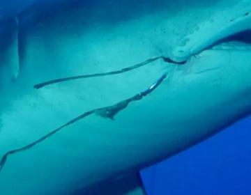 Millones de tiburones en todo el mundo podrían tener anzuelos de pesca clavados en su interior