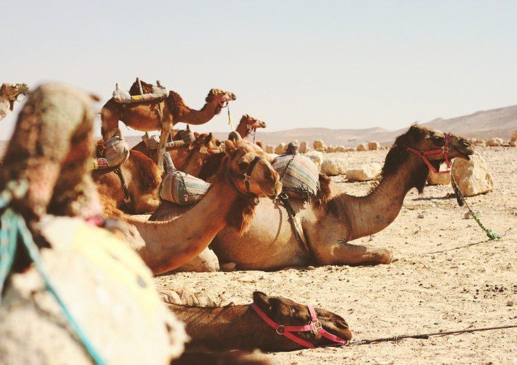 En Australia unos 10,000 camellos serán asesinados porque afectan a comunidades aborígenes