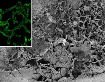Descubren un fósil de hongo de 700 millones de años, el más antiguo que se haya identificado