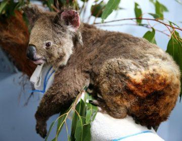 La devastación de los incendios en Australia que podría cobrar las vidas de más de mil millones de animales