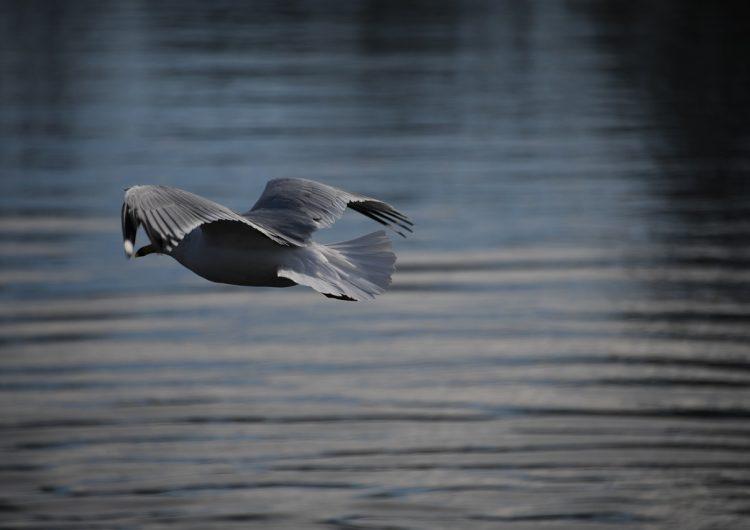Un millón de aves marinas murieron durante la ola de calor entre 2015 y 2016