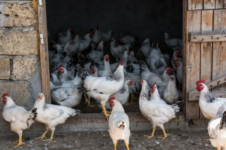 Los pollos tienen distintas personalidades y algunos pueden controlar sus impulsos