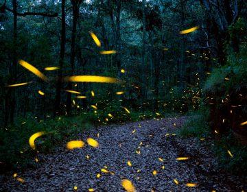 La luz artificial es una de las amenazas más graves que ponen en peligro a las luciérnagas