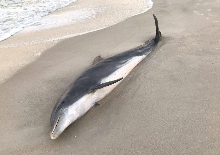 Investigan la muerte de dos delfines por posible herida de bala, en Florida
