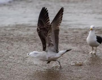 Un estudio halló que se acumulan químicos tóxicos en las aves marinas que comen plástico