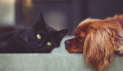 Las mascotas infectadas por coronavirus también estarán en cuarentena en…