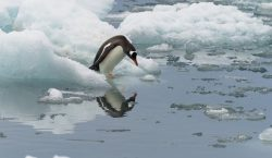 Científicos detectan por primera vez los sonidos que producen los pingüinos bajo el agua