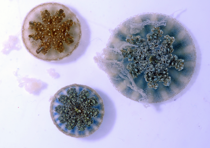 "Medusas invertidas lanzan ""agua urticante"" para matar a sus presas"