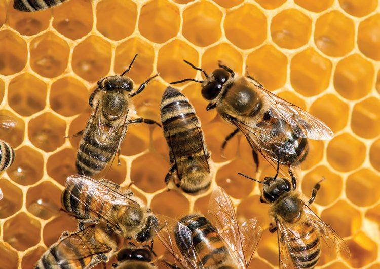 Por un kilo de miel cada abeja vuela entre 40 y 100 kilómetros para cosechar el néctar de al menos 560 flores diarias durante al menos 20 días. Foto: Adobe Stock