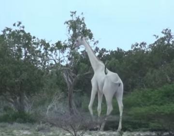 Cazadores furtivos matan a la única jirafa hembra blanca y a su cría, en Kenia