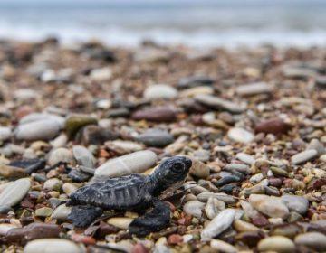 Las tortugas marinas confunden el plástico con comida debido a su aspecto y olor