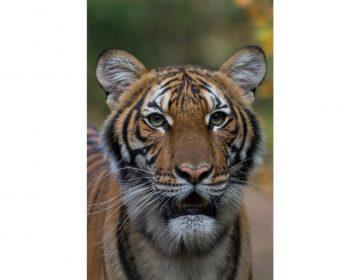 Otros siete felinos dan positivo a prueba de COVID-19 en zoológico del Bronx