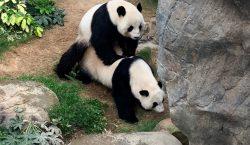 Gracias al confinamiento, dos pandas de Hong Kong al fin…