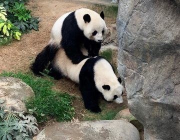Gracias al confinamiento, dos pandas de Hong Kong al fin se aparean