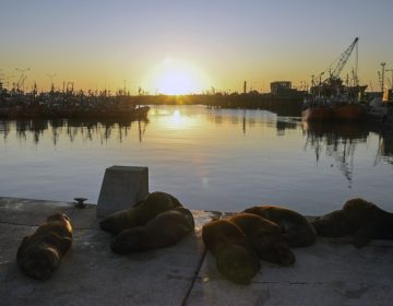Fotos | Leones marinos se apoderan de la costa argentina sin humanos