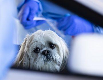 ¿Pueden los perros detectar el COVID-19? Investigadores británicos lo intentan