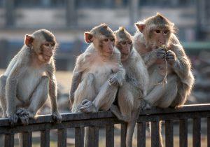 Monos reaccionan positivamente a vacuna experimental contra el coronavirus