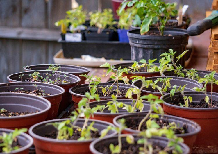 Aprende a sembrar cinco frutas y verduras durante el aislamiento