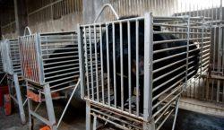 China da luz verde a medicamento con bilis de oso…