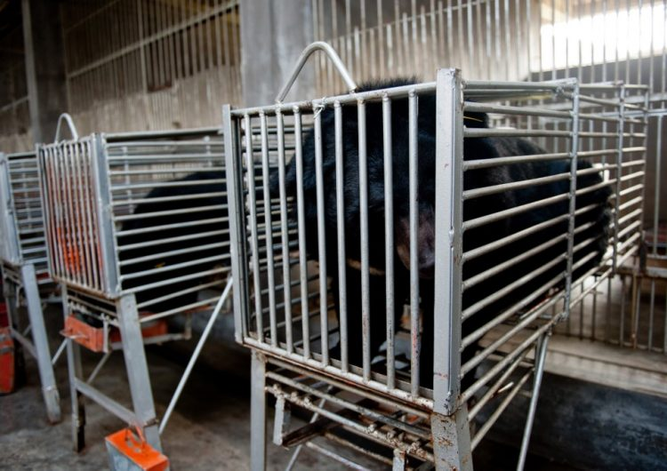 China da luz verde a medicamento con bilis de oso para tratar el COVID-19