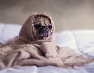 Un pug es el primer perro contagiado de coronavirus del que se tiene registro en EU