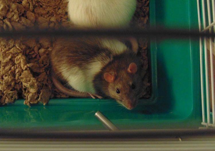 Científicos reducen la adicción al alcohol en ratones