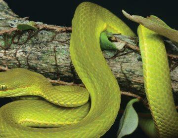 Bautizan a serpiente en honor a Salazar Slytherin de Harry Potter