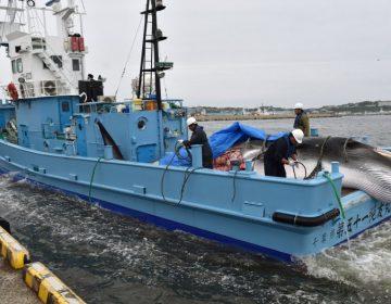 Los países que consideran la caza de ballenas comoo actividades esenciales durante la pandemia