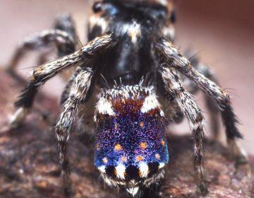 Descubren araña cuyo vientre luce como La noche estrellada, de Vincent van Gogh