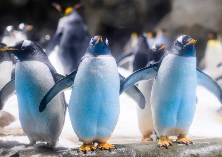 Así pasan el confinamiento los pingüinos de un parque en Hong Kong