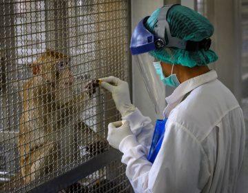 Monos escapan de laboratorio con muestras de sangre positivas a COVID-19 en India