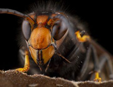 """""""Avispones asesinos"""", los insectos que matan a decenas cada año en Japón ahora llegan a EU"""