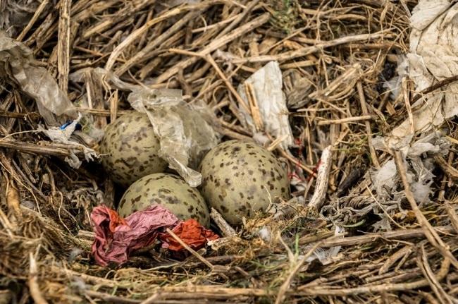 Detectan residuos plásticos en un  80% de los nidos de algunas aves marinas