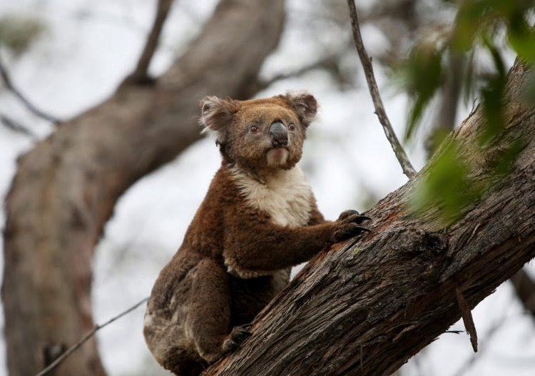 Bear, el perro que rescata a koalas afectados por los incendios en Australia